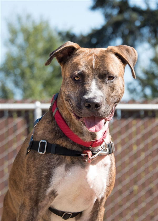 This tiger-striped guy is Tigger, a 3 year old American Pitbull Terrier.  Tigger is super strong and super sweet. He likes to give kisses and is  playful!